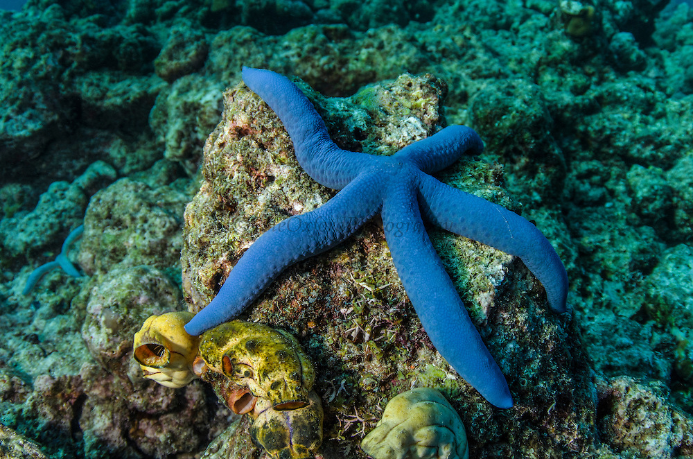 Blue Sea Star (Linckia laevigata)<br /> Cenderawasih Bay<br /> West Papua<br /> Indonesia