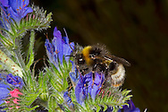 Forest or Four-coloured Cuckoo Bumblebee - Bombus sylvestris