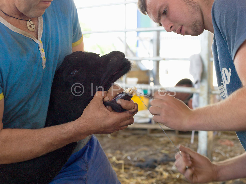 Contractors filing the teeth of an alpaca at a family farm in North Yorkshire, United Kingdom on 15th June 2017