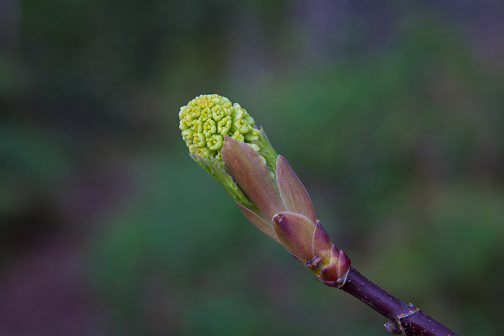 """This is how it all starts: tiny bright yellow-green flowers show before even the first hint of leaves in the massive bigleaf maples. As the spring progresses into summer, the seed pods begin to form, and as fall approaches, we see the first of the falling """"whirlie-birds"""" we all know and love!"""