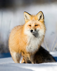 A red fox poses in the morning sun in Grand Teton National Park