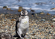 A very scruffy moulting juvenile  Megallanic Penguin (Spheniscus magellanicus) on the beach at the nesting colony at Otway Sound. Punta Arenas, Republic of Chile. 16Feb13