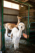 Alpacas are seen at Sauk Creek Alpacas in Oregon, Wisconsin on July 2, 2011. Lynne Johnson owns the farm and a cria was born the night before.