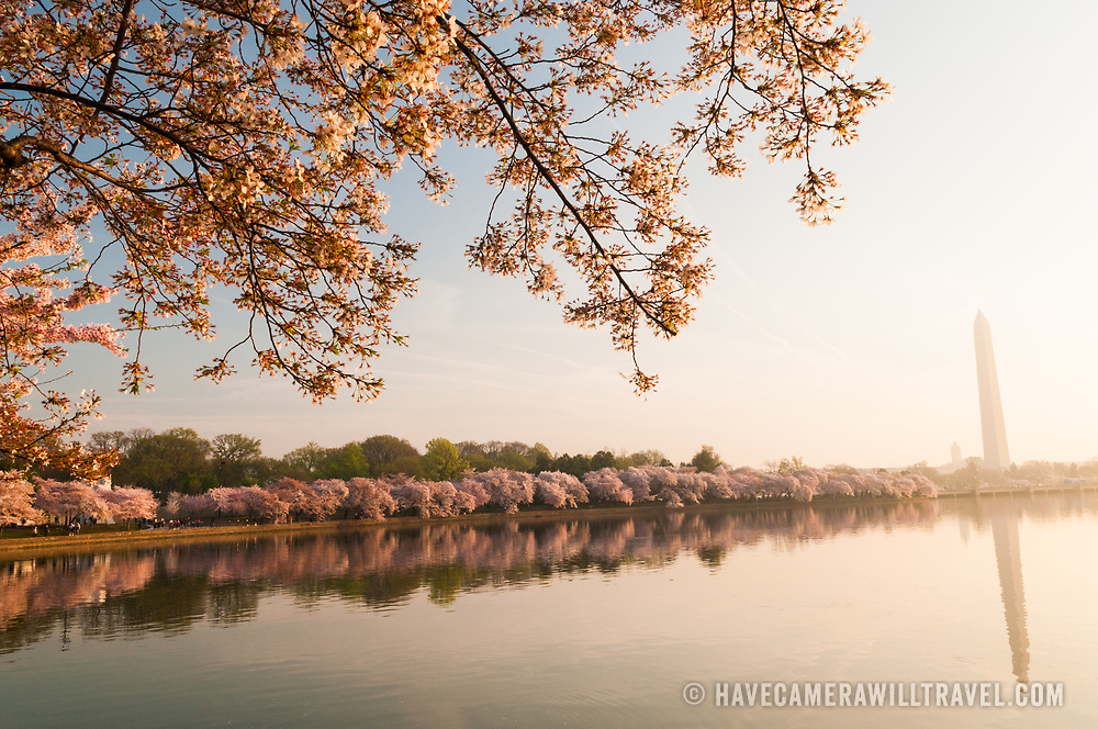The Washington Monument is at right of frame, while the early morning light catches the cherry blossoms lining the Tidal Basin in Washington DC. The Yoshino Cherry Blossom trees lining the Tidal Basin in Washington DC bloom each early spring. Some of the original trees from the original planting 100 years ago (in 2012) are still alive and flowering. Because of heatwave conditions extending across much of the North American continent and an unusually warm winter in the Washington DC region, the 2012 peak bloom came earlier than usual.
