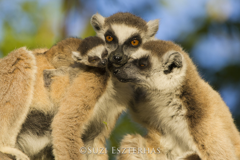 Ring-tailed Lemur<br /> Lemur catta<br /> Female smelling 1-2 week baby of other female<br /> Berenty Private Reserve, Madagascar