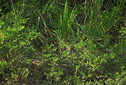 Jaguar, Panthera onca, hiding in edge of rainforest at river, Manu National Park, Peru, jungle, camouflaged, big cat, Amazonia.