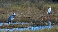 Great Blue Heron (Ardea herodias) and Great Egret (Ardea alba). Black Point Wildlife Drive, Merritt Island Wildlife Refuge. Merritt Island, Brevard County, Florida. Image taken with a Nikon D3 camera and 80-400 mm VR lens.