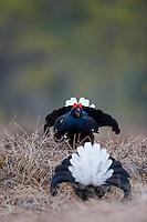 14.04.2009.Black Grouse (Tetrao tetrix) displaying on a bog. Lekking behaviour. Courting. Fight..Bergslagen, Sweden.