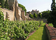 A view in Summer of the Lincoln vineyard, showing the ancient buttressed stone walls behind Edward King House and the Medieval Bishops' Palace. <br /> <br /> The walls provide shelter and a Mediterranean micro-climate for the most northerly vineyard in Europe, planted high up on the Lincoln Cliff, an escarpment which begins in the Lincolnshire Wolds and runs south-west to the Cotswolds.<br />  <br /> Date taken: 11 June 2006.