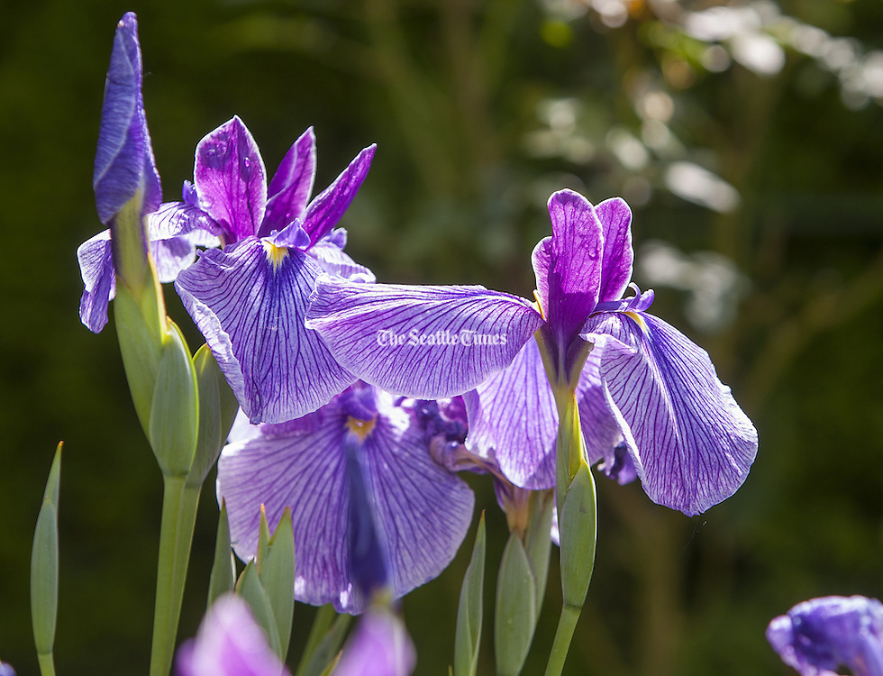 Purple Iris in the Indianola area of Kitsap County. (Mike Siegel / The Seattle Times)