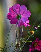 Backlit Cosmos Flower (with a Praying Mantis). Image taken with a Nikon D5 camera and 80-400 mm VRII lens.