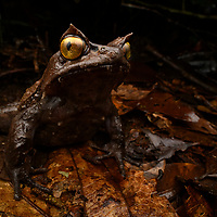 The rare Montane Horned Frog (Pelobatrachus kobayashii) is endemic to mountain rainforests of Sabah in northern Borneo. Like other members of the genus, this large terrestrial frog relies on its superb camouflage to evade detection from predators. Sabah, Malaysia (Borneo).