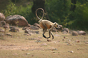 India Rhesus Macaque Macaca mulatta Monkey