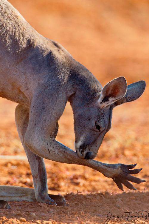 A dominant male red kangaroo (Macropus rufus) licks its arm,  Sturt Stony Desert,  Australia