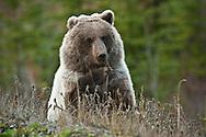 Grizzly bear, feeding in the wild, Yukon Territory, Canada