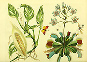 Dionaea Muscipula [Venus's Fly Trap] from Vol 1 of the book The universal herbal : or botanical, medical and agricultural dictionary : containing an account of all known plants in the world, arranged according to the Linnean system. Specifying the uses to which they are or may be applied By Thomas Green,  Published in 1816 by Nuttall, Fisher & Co. in Liverpool and Printed at the Caxton Press by H. Fisher