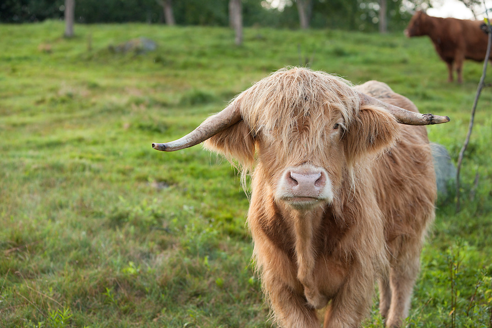 portrait of highland cow on a late summer morning