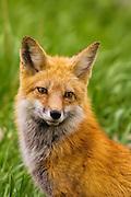 Portrait of a Colorado red fox vixen.