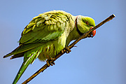 A Parakeet stands on a tree in Hyde Park, central London on Saturday, April 17, 2021. This weekend marks the day when Prince Philip of Britain was buried in Windsor, England. The Queen announced the death of her beloved husband, His Royal Highness Prince Philip, Duke of Edinburgh who died at age 99. HRH passed away peacefully on April 9th at Windsor Castle after 73 years of marriage to Britain's Queen Elizabeth II. (Photo/ Vudi Xhymshiti)
