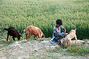 Bihar India March 2011. Young girl minding goats next to a field of wheat.