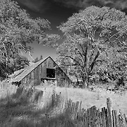 Abandoned Barn And Oaks - Willits, CA - Highway 20 - Infrared Black & White