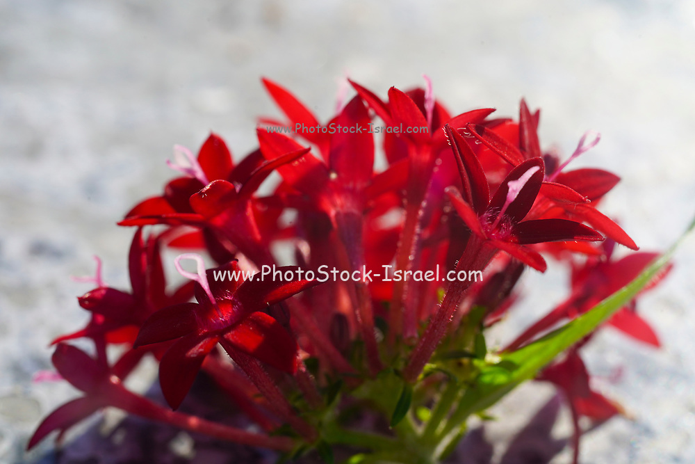 Closeup of a delicate red flower