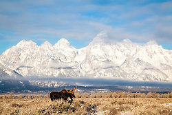 A fine winter morning at Antelope Flats as a bull moose moves across his landscape in Grand Teton National Park