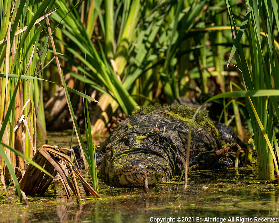 A large American Alligator hiding in the grass, Lake Apopka Wildlife Drive, Florida. Image taken by Ed Aldridge with a NIKON Z 6_2 and 500mm f/4D at 500mm, ISO 1600, f5.6, 1/1600.