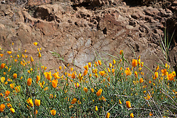 """""""California Poppies 1"""" - These wild California Poppy flowers were photographed near Windy Pt. along the North Fork American River."""