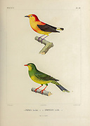 hand coloured sketch Top: Subspecies of Band-tailed Manakin (Pipra fasciicauda fasciicauda [Here as Pipra fasciata]) Bottom: Subspecies of Band-tailed Fruiteater (Pipreola intermedia signat [Here as Ampelis viridis]) From the book 'Voyage dans l'Amérique Méridionale' [Journey to South America: (Brazil, the eastern republic of Uruguay, the Argentine Republic, Patagonia, the republic of Chile, the republic of Bolivia, the republic of Peru), executed during the years 1826 - 1833] 4th volume Part 3 By: Orbigny, Alcide Dessalines d', d'Orbigny, 1802-1857; Montagne, Jean François Camille, 1784-1866; Martius, Karl Friedrich Philipp von, 1794-1868 Published Paris :Chez Pitois-Levrault et c.e ... ;1835-1847