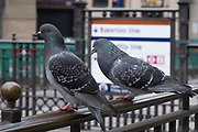 Feral pigeons in Piccadilly on 3rd March 2021 in London, England, United Kingdom. Feral pigeons, also called city doves, city pigeons, or street pigeons, are pigeons that are derived from the domestic pigeons that have returned to the wild.