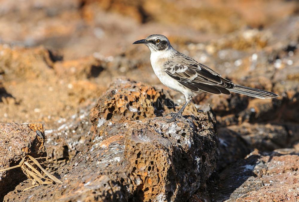 Galapagos Mockingbird (Nesomimus parvulus bauri) from Genovesa.