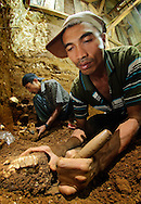 """Lead Manggarai excavator Benyamin Tarus recovers a Stegodon jaw from Liang Bua cave, discovery site of the Flores """"hobbit"""", Homo floresiensis."""