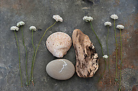 Clam shell fossil with driftwood, stone and wild Buckwheat blossoms. Buckwheat Flower with fossil and driftwood.