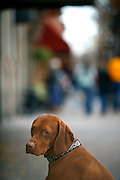SHOT 11/11/2007 - Tanner, a three year old male Vizsla, waits outside a store in Fort Collins, Co. for his owners. The City of Fort Collins, a home rule municipality situated on the Cache la Poudre River along the Colorado Front Range, is the county seat and most populous city in Larimer County, Colorado. With roughly 130,000 residents, making it the fifth most populous city in Colorado, Fort Collins is a large college town, home to Colorado State University. It was named Money magazine's Best Place to Live 2006. Includes images of Old Town, a restored historic district, which offers a look at the earliest roots of the city, and has plenty of good shopping opportunities..(Photo by Marc Piscotty/ © 2007)