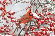 01530-23314 Northern Cardinal (Cardinalis cardinalis )male in Winterberry bush (Ilex verticillata) in winter Marion Co. IL