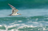 Lesser Crested Tern - Sterna bengalensis - 1st winter