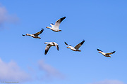 Five snow geese fly together across Hayton Reserve in Skagit County.