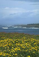 Wildflowers on the Mendocino Headlands State Park, Mendocino, California