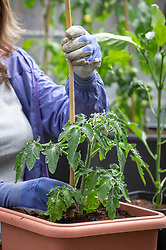 Putting in a cane to support container grown tomatoes at the time of planting.