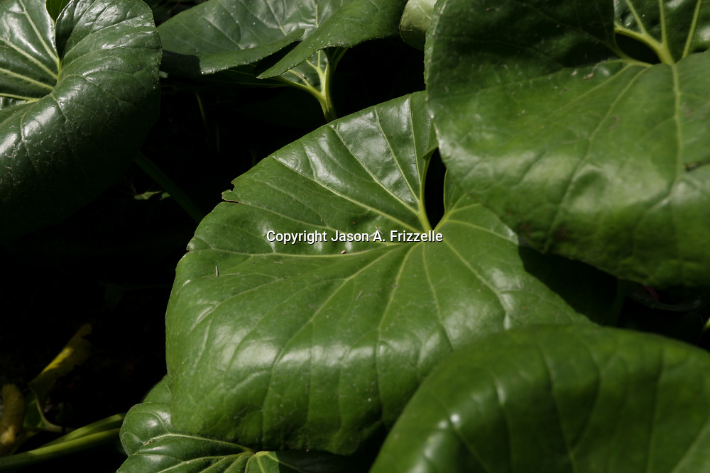 Leaves are pictured in the autumn sunlight at Airlie Garden in Wilmington, N.C.
