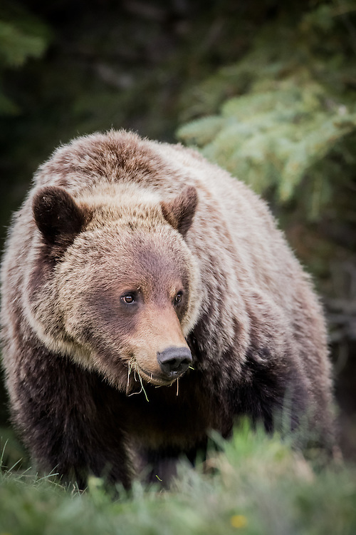 grizzly bear, jasper national park, cub
