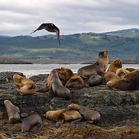"""On our second day in Ushuaia we asked for a boat trip along the Beagle channel with """"Tres Marias Excursiones"""". The photo shows the Sea Lion Rookery on Isla de los Lobos. <br /> Our captain was Héctor Monsalve, also a fisherman and a famous professional underwater photographer with more than 30 years of experience, being a guide for scientists like Jacques Cousteau or many international broadcasting teams like ZDF or M6 Ushuaia... amongst others."""