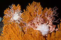 Deep hard corals reef, Lophelia pertusa, with an orange coral seafan, Paramuricea placomus, next to the reef. Trondheim fjord, Norway