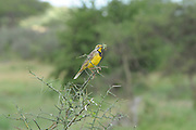 Yellow-throated Longclaw (Macronyx croceus). Photographed in Tanzania