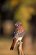 American Kestrel, Falco sparverius - adult male, bird of prey, perched on branch, hunts small mammals insects, Boulder Colorado forest