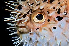 Spiny Pufferfish / Porcupinefish