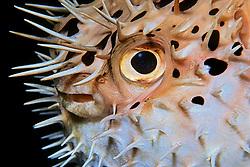 Balloonfish, Diodon holocanthus, off Key Largo, Florida Keys National Marine Sanctuary, Florida, Atlantic Ocean
