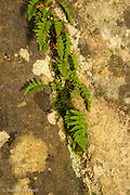Ferns and moss grow in a crack on a large granite boulder.
