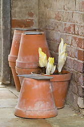 Chicory 'Witloof' being forced in terracotta pots